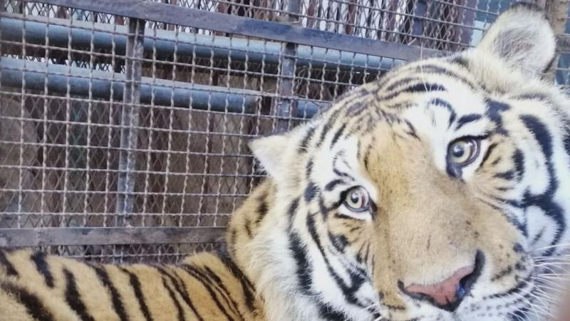 AZCARM apoya labores de salvamento de tres felinos decomisados