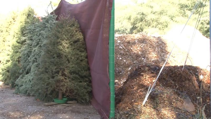 Invitan a reciclar pinos navideños para hacer composta