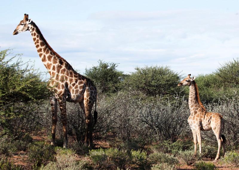 """Varios científicos documentan las primeras """"jirafas enanas"""" en Uganda y Namibia"""