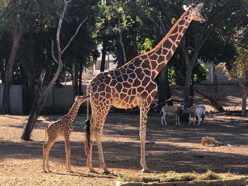 Nace Jirafa en el zoológico de Culiacán