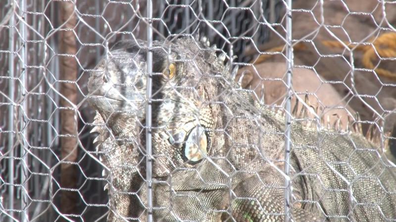 Bartolo la iguana rescatada tiene un mensaje para ti