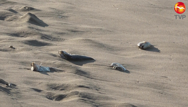 Aparecen muertos, cientos de peces sobre las playas de la Avenida del Mar
