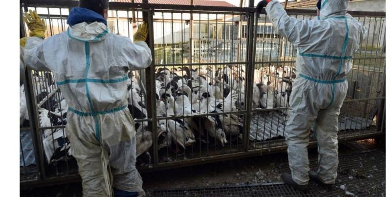 Rusia reporta una infección humana con nueva cepa de gripe aviar