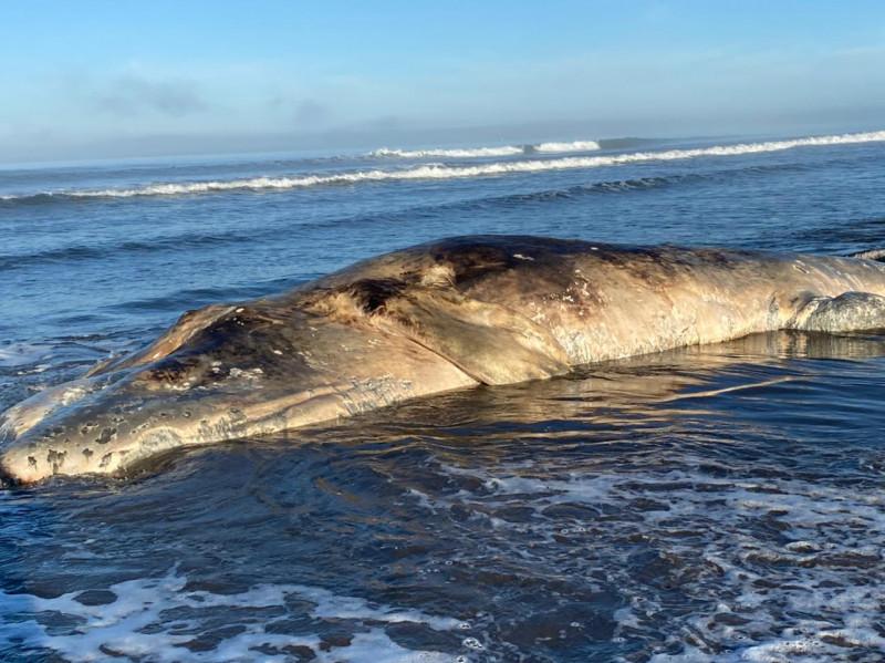 Encuentran una ballena gris muerta en El Tambor