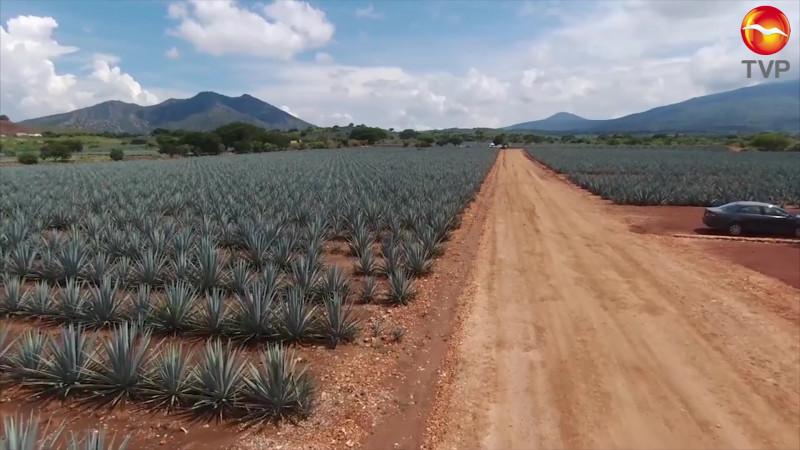 Tendrá el sur de Sinaloa su ruta del mezcal