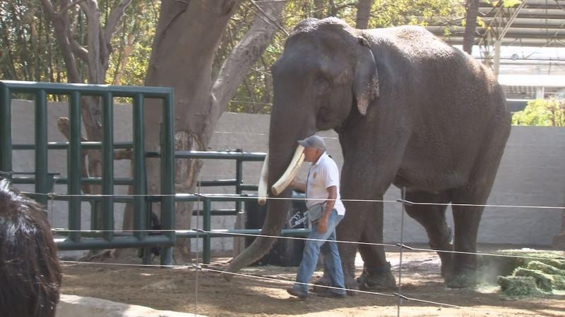 Llega el elefante Big Boy al zoológico de Culiacán