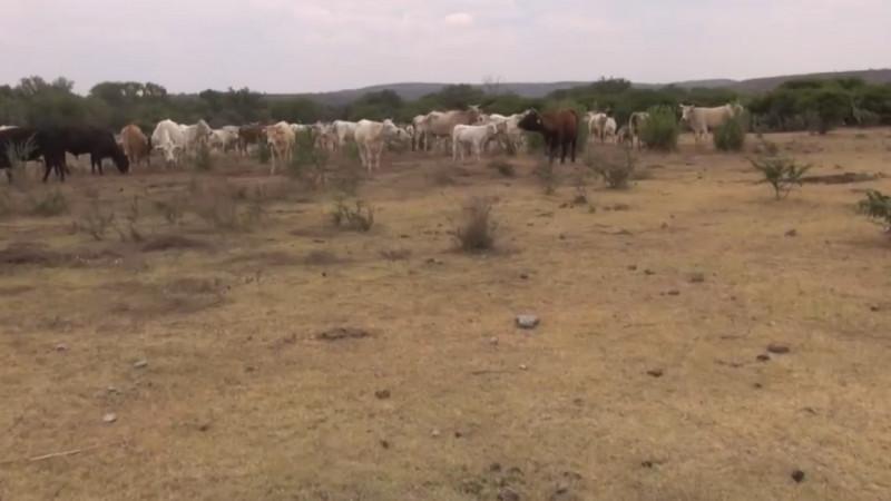 De repetirse el escenario del 2020, desaparecerá la ganadería en Sonora