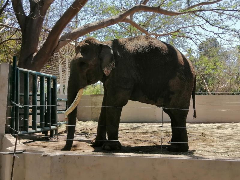 Ningún cobro en el recibo del agua para mantener a elefante Big Boy, aclara zoo de Culiacán