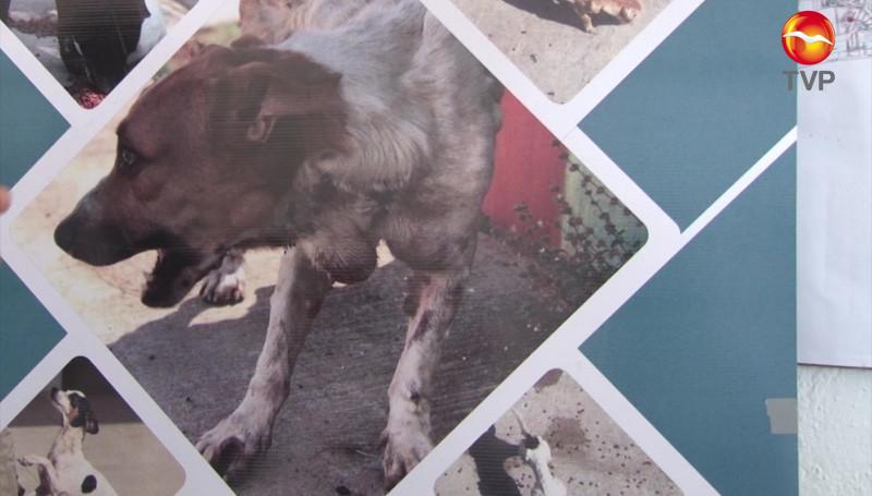 Detectan en Mazatlán perritos en situación de calle con TVT