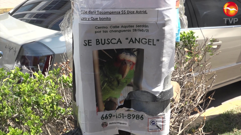 Buscan a 'Ángel' en Mazatlán, un perico desaparecido