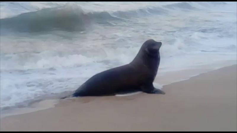 Llama la atención lobo marino en zona de playa