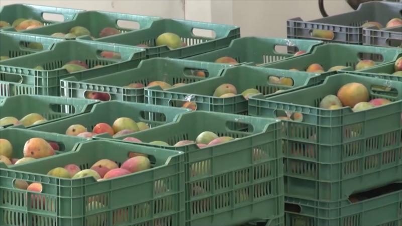 Mango no alcanza las tallas por sequía: AARP