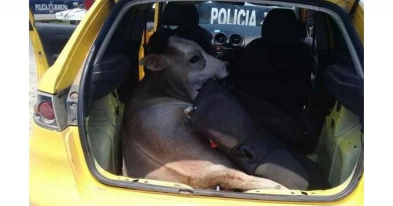 Policías buscaban droga y armas y se encuentran a una vaca robada