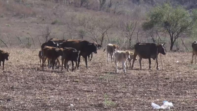Alientan a ganaderos lluvias en zona serrana de Mazatlán