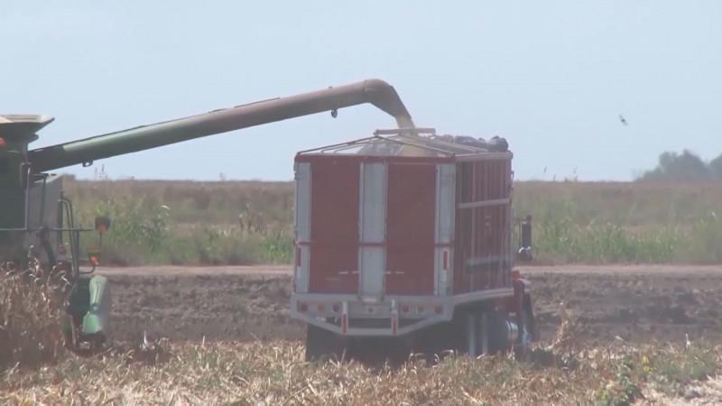 Se mantienen buenos precios del maíz