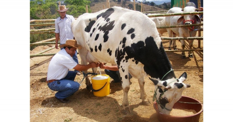 Rusia altera vacas genéticamente para que den leche sin lactosa