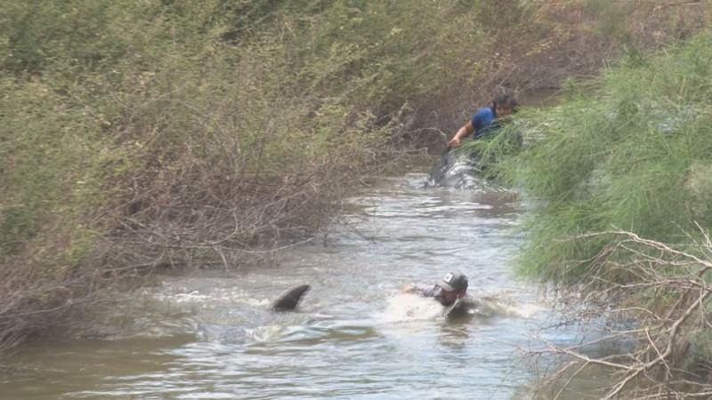 Continúan esfuerzos por rescatar a delfín varado en canales de riego