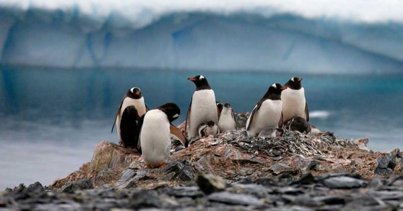 """Encuentran """"amplia presencia"""" de microplásticos en la dieta de pingüinos de la Antártida"""
