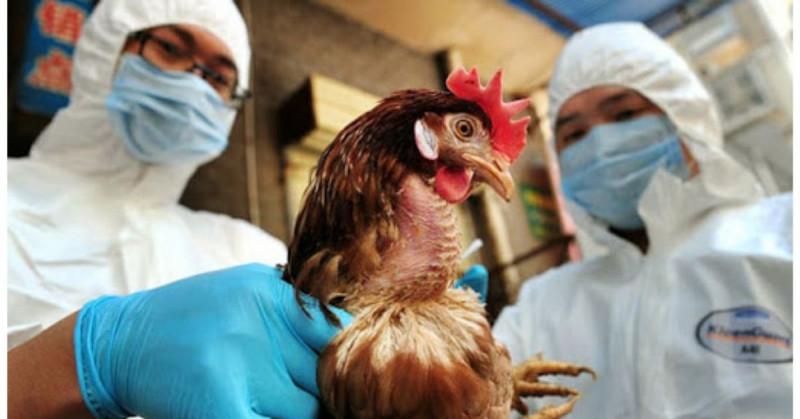 India reporta primera muerte por Gripe Aviar H5N y se trabaja para evitar una nueva pandemia