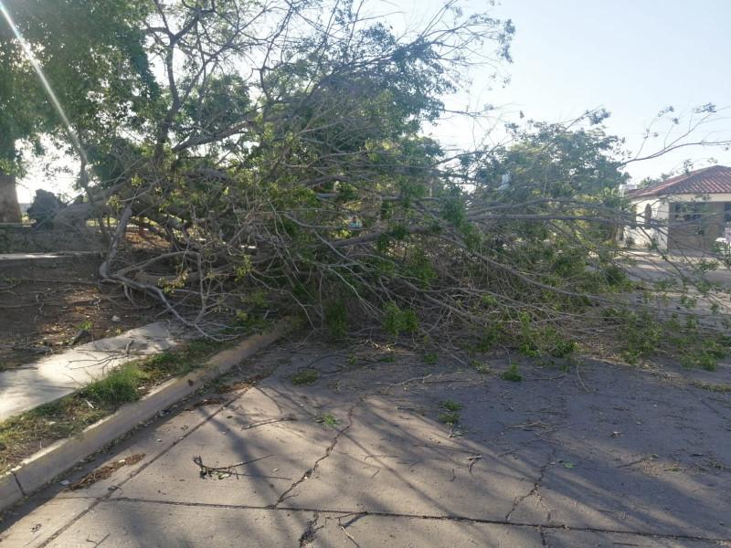 Fuertes vientos en Ahome provocan caída de arboles hasta apagones