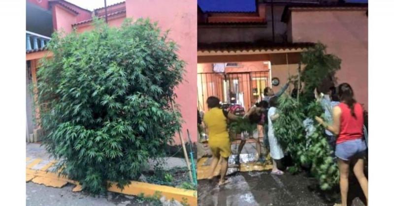 Vecinos de Veracruz crecen planta de marihuana en plena calle y se la reparten cuando llega la policía