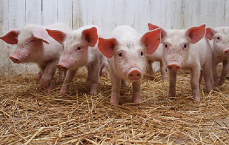 No hay riesgo en la región por casos de fiebre porcina en México