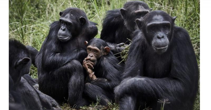 """Los chimpancés amigos del """"macho alfa"""" tienen más éxito para encontrar pareja y aparearse"""