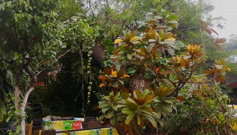 """""""Nora"""" tumbó árbol icónico ubicado de Carnitas El Camino """"El Bigotes"""""""