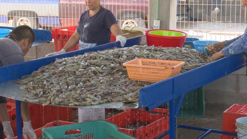 El 14 Septiembre se levanta la veda del camarón en el pacífico