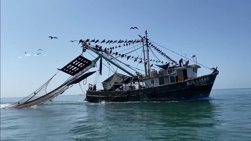 De regulares a bajas las capturas de camarón en altamar