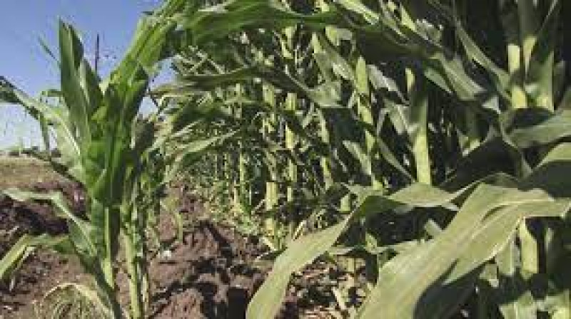 Aprueba la siembra de 750 mil hectáreas en Sinaloa