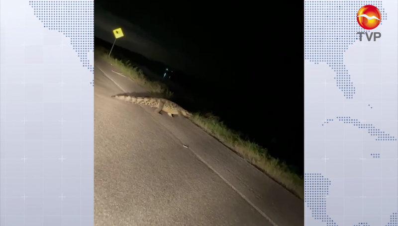 Captan a cocodrilo frente a complejo turístico de Barrón