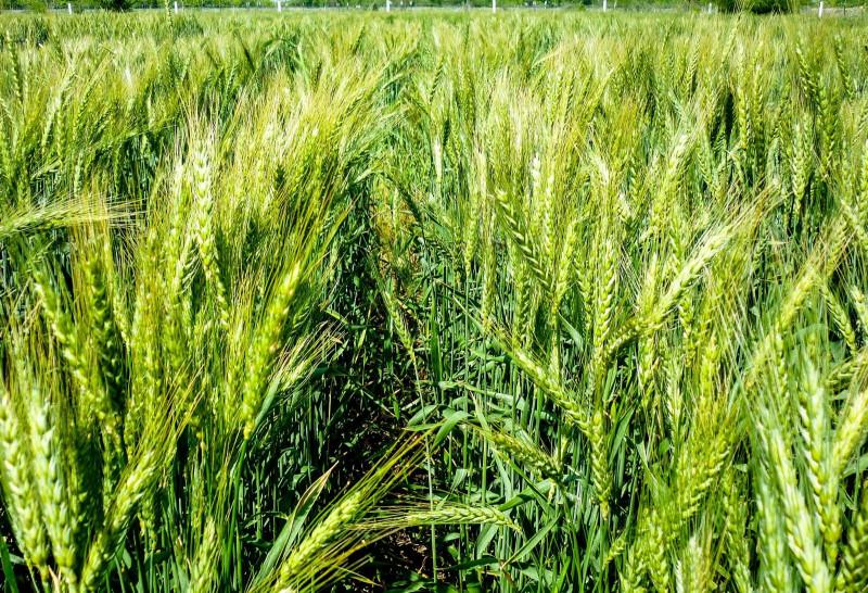 Anuncia Sader aumentos en precios de garantía para los granos