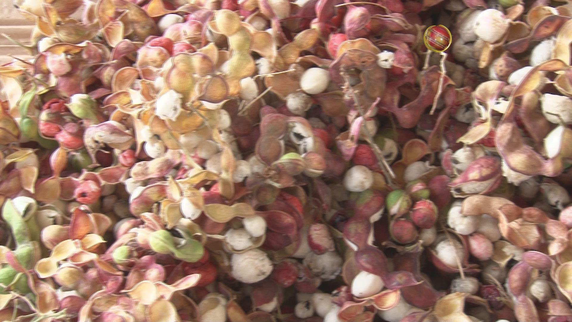 Temporada de guamuchiles, planta muy sinaloense | Ciudad ...  Guamuchiles